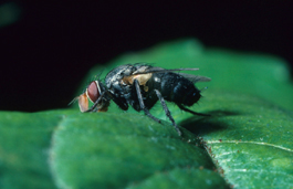 Tachinid fly adult (Tachcinidae) (J. Brunner)