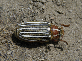 Tenlined June beetle adult (E. Beers)
