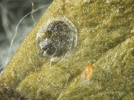 Codling moth egg parasitized by Trichogramma sp. (note emergence hole)