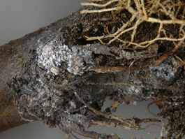 Woolly apple aphid colony on roots (E. Beers)