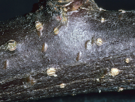 White apple leafhopper overwintering egg bumps in apple (E. Beers)