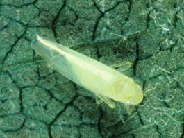 White apple leafhopper adult (Courtesy of TFREC)