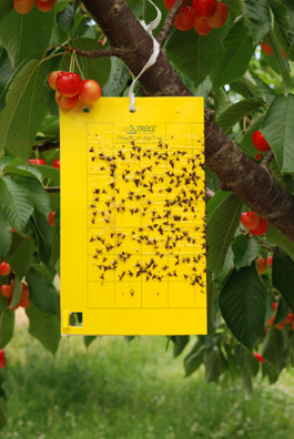 Yellow sticky trap in cherry orchard (E. Beers, June 2007)