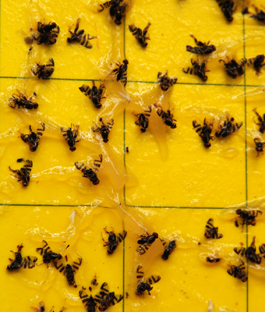 Adult cherry fruit flies on yellow sticky trap (E. Beers, June 2007)