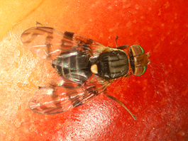 Cherry fruit fly adult (E. Beers, June 2007)