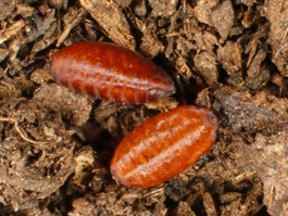 Western cherry fruit fly pupae (E. Beers)