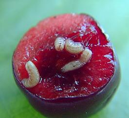 Western cherry fruit fly larvae in sweet cherry (E. Guitierrez)
