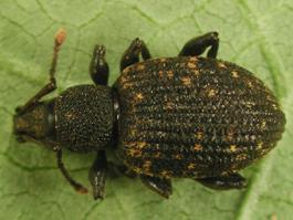 Black vine weevil (Otiorhynchus sulcatus) adult (E. Beers, June 2002)