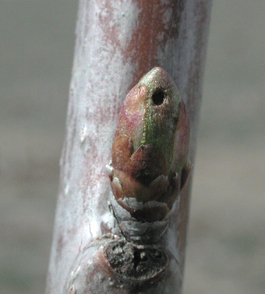 Weevil feeding on cherry bud (E. Beers, April 2001)
