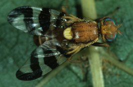 Walnut husk fly adult