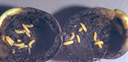 Walnut husk fly larvae in walnut (Ken Gray Image Courtesy of Oregon State University)