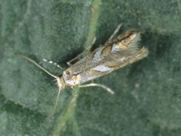 Western tentiform leafminer adult moth (E. Beers, 2002)