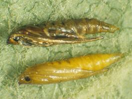 Western tentiform leafminer pupae (above, mature; below, teneral) (E. Beers)