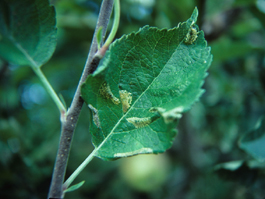Western tentiform leafminer damage to apple foilage, tissuefeeding mines (J. Brunner)