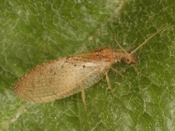 Adult brown lacewing. Photo E. Beers, WSU.
