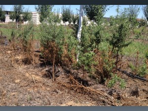 Figure 1. Ineffective management of large weeds in a plum orchard with a contact herbicide. Reduced control is attributed to poor herbicide coverage and subsequent plant regrowth.