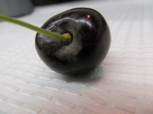 Figure 3. Powdery mildew fruit symptoms initiating on cherry 'bowl'. Image courtesy Claudia Probst and Gary Grove, WSU.