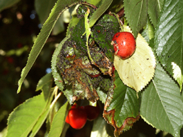 Black cherry aphid damage to sweet cherry (E. Beers)
