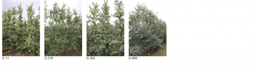 Figure 2. Third leaf Honeycrisp trees in a non-fumigated old orchard site in Oroville WA, August 2017.