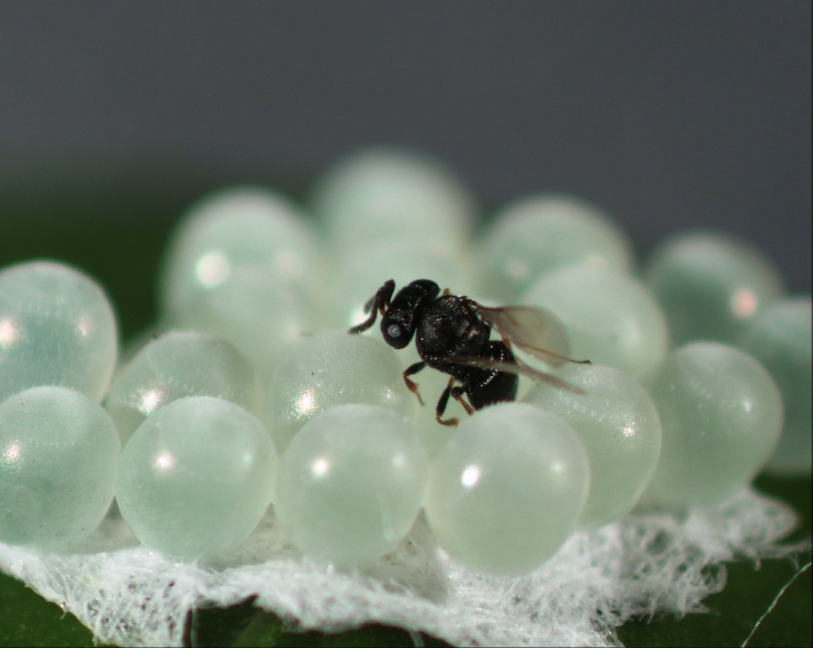 Trissolcus japonicus (samurai wasp) ovipositing in brown marmorated stink bug eggs (E. Beers)