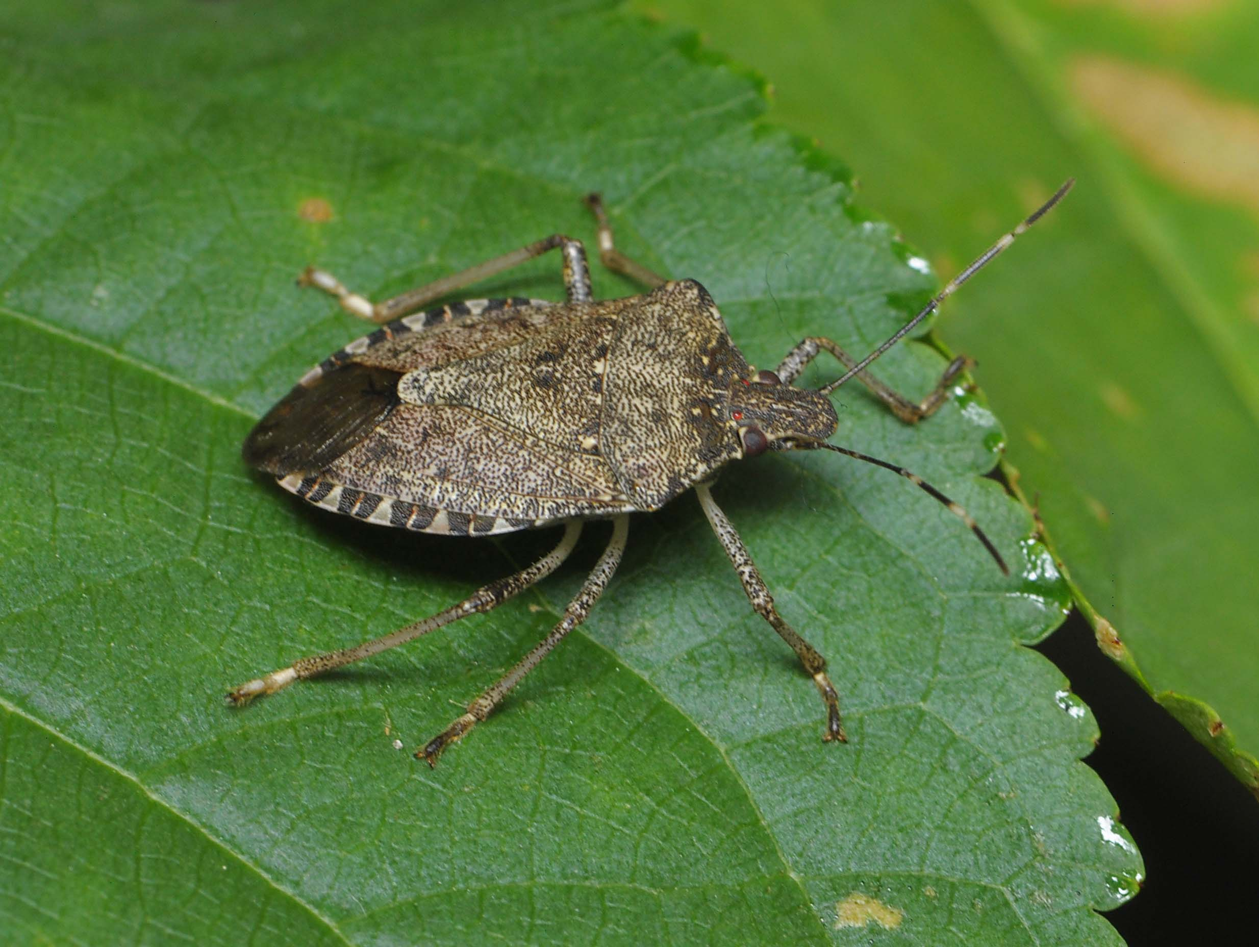 Brown Marmorated Stink Bug | WSU Tree Fruit | Washington ...