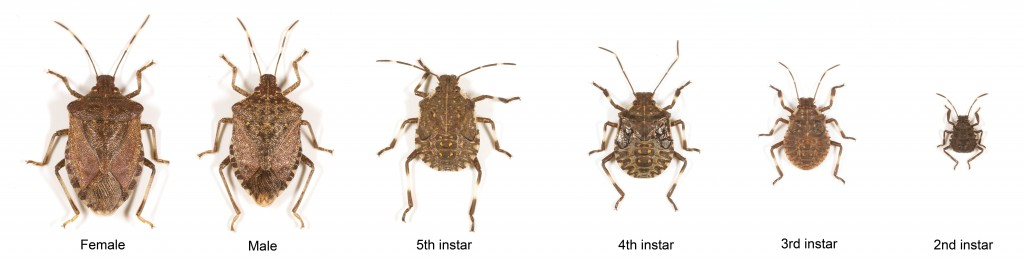 Brown marmorated stink bug life stages (E. Beers and A. Marshall)