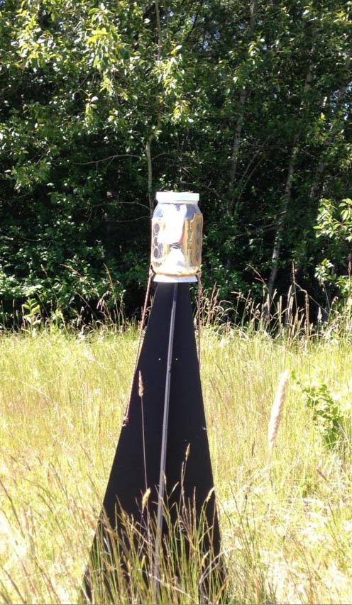 Black pyramid trap for brown marmorated stink bug (J. Milnes)