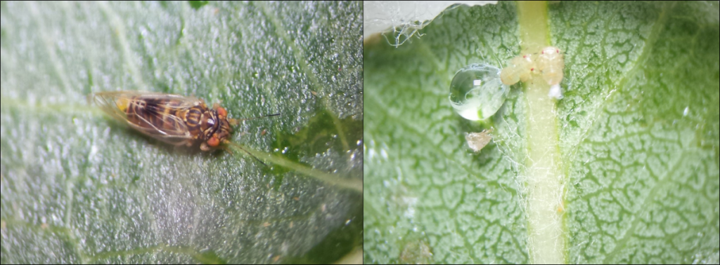 Figure 1. Pear psylla adult (left) and nymphs excreting honeydew (right).