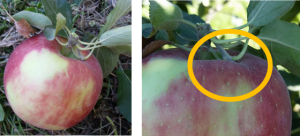 Spurs attached to to picked fruit may pierce the skin during harvest. (image credit I. Hanrahan, WTFRC)