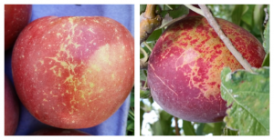 Mildew (left) and limb rub (right) on WA 38 apples. (image credit: I. Hanrahan, WTFRC, Sept. 2016)
