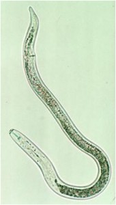 Figure 1. Lesion nematode. Photo credit: Howard Ferris, UC Davis.