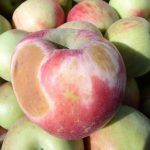 Photo-oxidative sunburn in a bin of harvested Honeycrisp