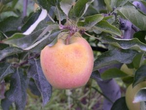 Sunburn browning on Golden Delicious