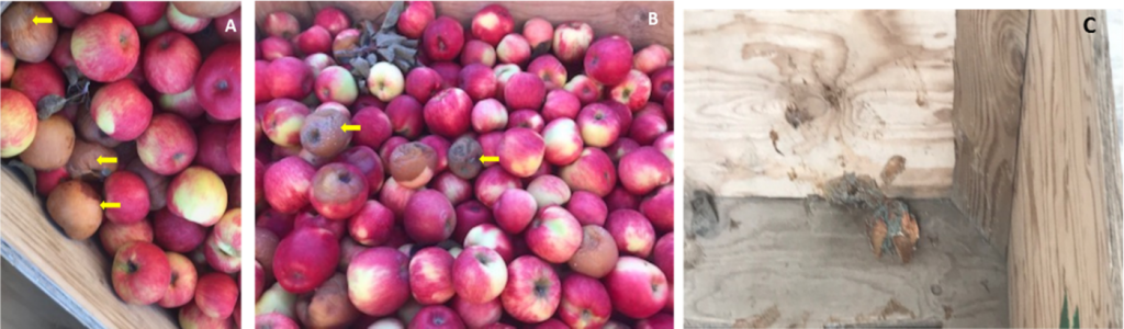 Figure 2: Example of infected fruit with sporulating lesion (yellow arrows) in bins (A, B) and rotten apple showing Penicillium spores left in a bin after packing (C).