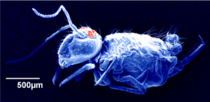 Micrograph of a collembola.