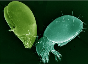 Micrograph of two species of Oribatid mites.