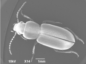 Micrograph of a carabid beetle.