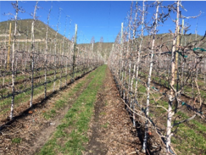 View of trellised apple orchard early spring showing wood chip mulch in the tree line.