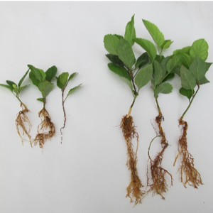 Side-by-side comparison of high and low pathogen pressure affected seedlings.