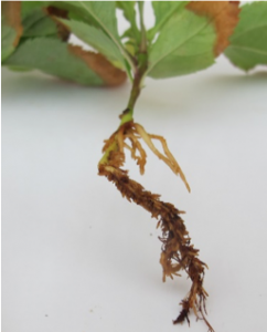Close-up view of the root system of a seedling.