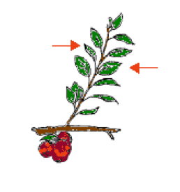 Stem and leaf diagram showing the correct leaves to select.