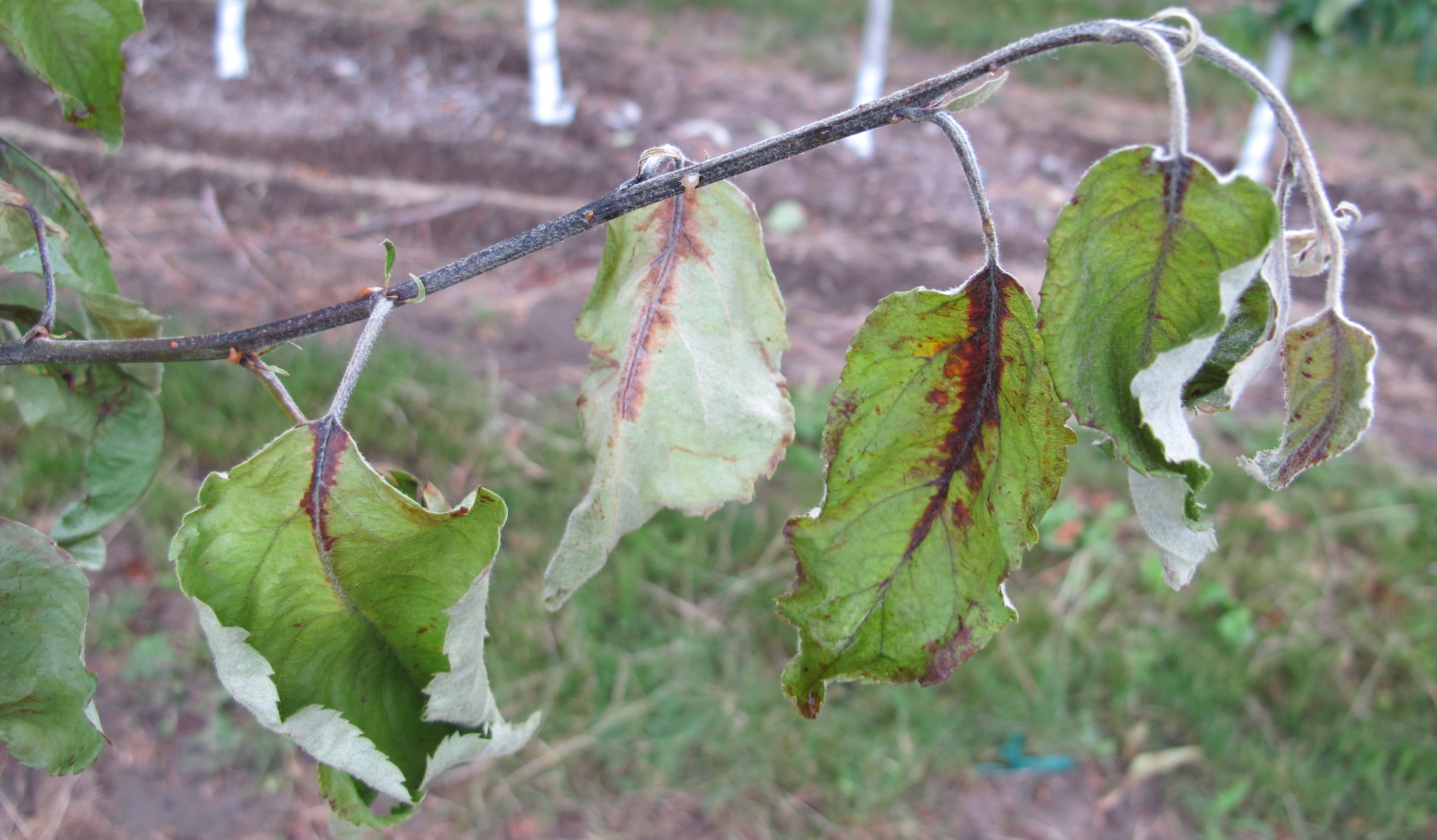 Fire Blight | WSU Tree Fruit | Washington State University