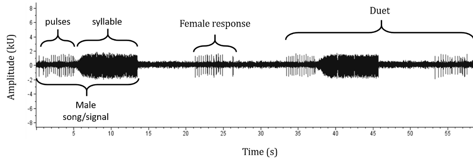 Wave diagram showing the portion of the song produced by the male followed by the female response then the duet produced by both together.