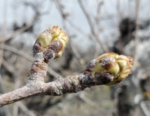 Two expanding pear buds just prior to bloom seen with a light white coating of kaolin particle film.