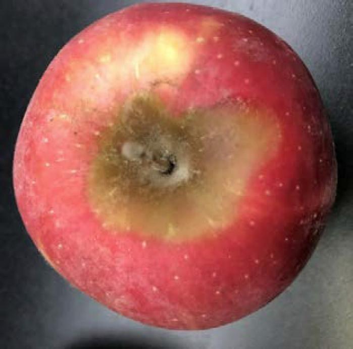 Gray Mold Wsu Tree Fruit Washington State University
