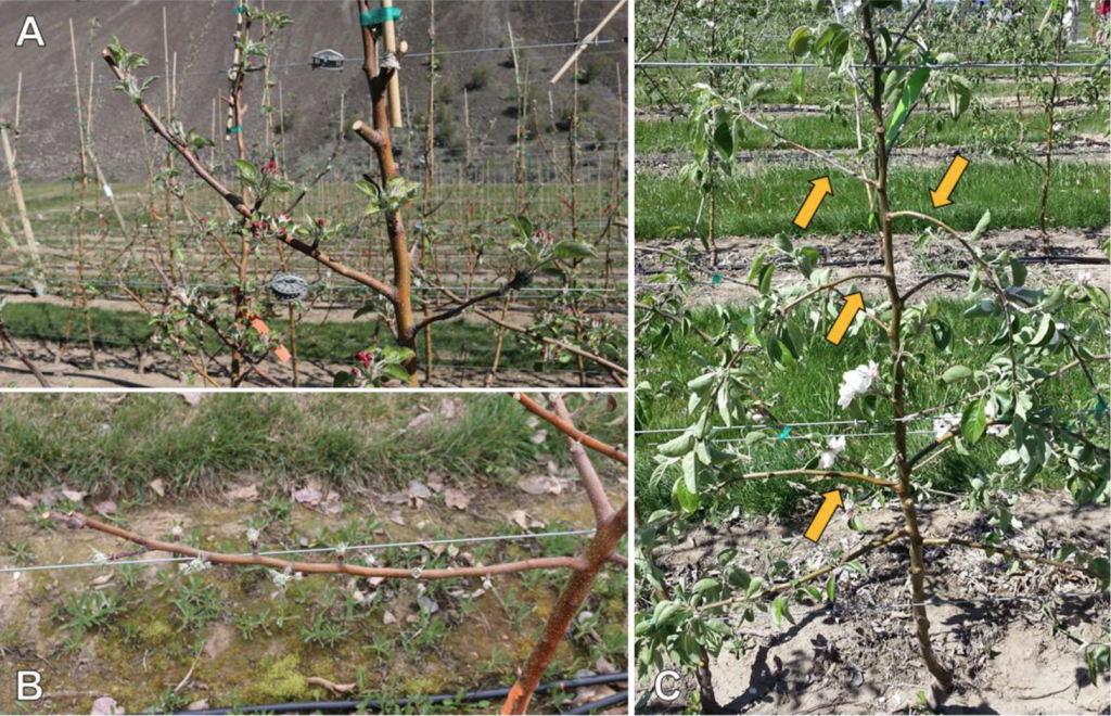 Three images showing the difference between click and bending methods of pruning, depicting where the new shoots emerge.