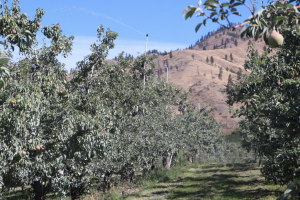 View of the orchard showing the overhead washing system riser.