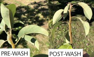 Split image showing shoots with leaves effected by psylla honeydew pre- and post-washing where the pre-wash sample shows a glob of honeydew.