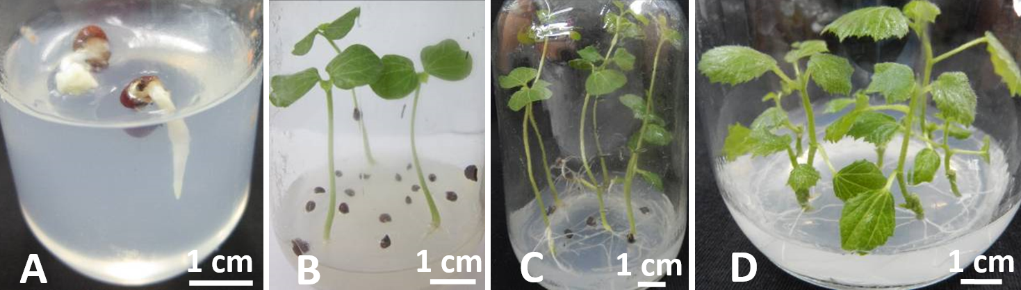 Figure 1  ) after two subculture generations plants.