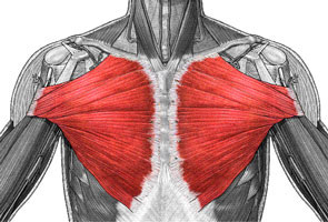 muscular system thinglink
